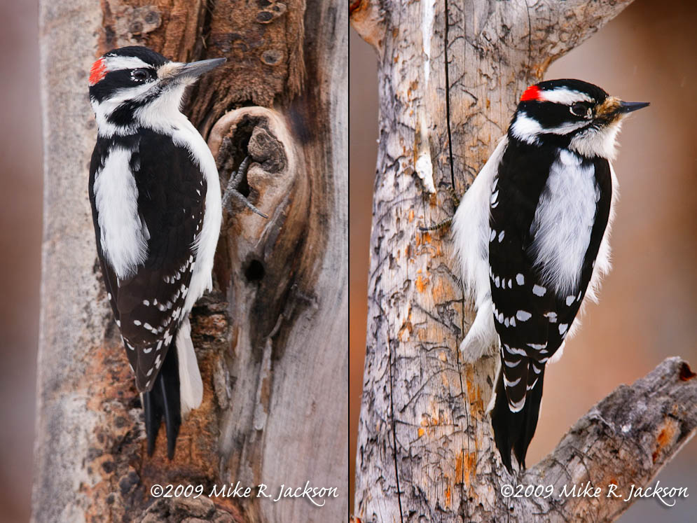 Hairy and Downey Woodpeckers