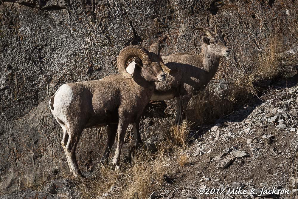 Bighorns by Rocks